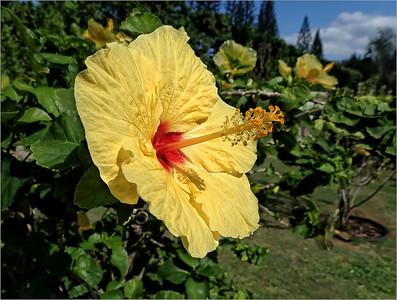 Sharp Todd 2 Large Yellow Hibiscus