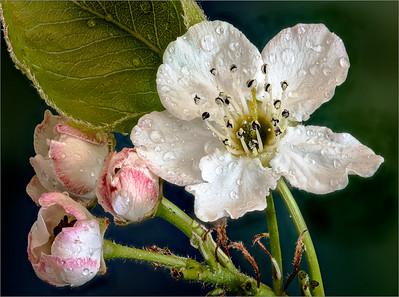 113 Sharp Todd 1 Ornamental Pear  Bloom