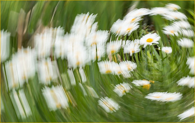 008 Dave Crawforth 1 Daisies  rotated_2855 AS