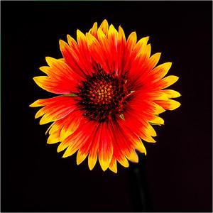 108 Martin Torres 1 Blanket Flower