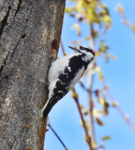 004 Mark Murray 1 Woodpecker in my    backyard AS