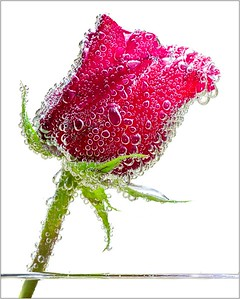 117 Rick Ohnsman 2 Bubbly Rose
