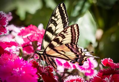 Martin Torres 2 Swallowtail3