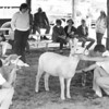Blue Hill Fair Circa 1986.jpg