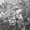 blueberry plant.jpg