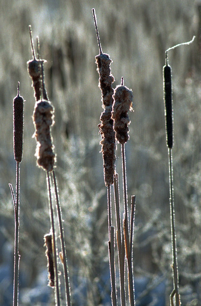 Sunshine glistens this week on frost-covered cattails in a swamp along Route 222 In Hermon. (NEWS Photo by Kevin Bennett)