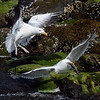 SQUABBLING GULLS  Gulls fight over a fish along the shore of Patten Bay in Surry on Tuesday. (BANGOR DAILY NEWS PHOTO BY GABOR DEGRE)<br /> <br /> CAPTION<br /> <br /> Seagulls fight over a fish along the shore on Patten Bay in Surry Tuesday. (Bangor Daily News/Gabor Degre)