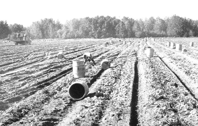Potatoharvest 12