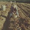 Potatoharvest 5