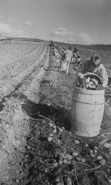 Potatoharvest 13