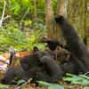 Black Bear Nursing Her Cubs (Hazel) 2017