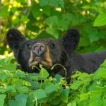 Mindy Cades Cove GSMNP Black Bear