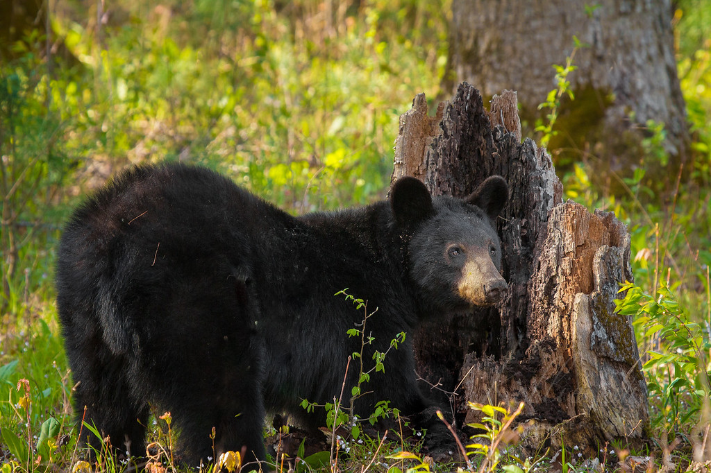 _MG_3099 Great Smoky Mountains Cades Cove Smokies Tennessee Clingmans Dome Newfound Gap Sunrise Sunset GSMNP Black Bear Cub Cubs White Tailed Deer Buck Fawn Doe untitled