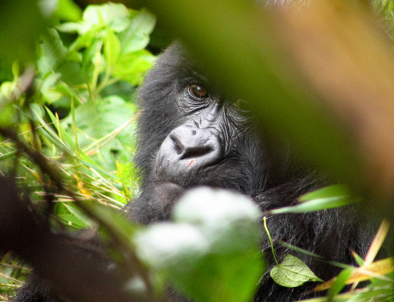 Though still incredibly endangered, the african Mountain Gorillas have much more in the way of advocacy than most species teetering on the brink.  The money they bring in to the government's coffers, for example tends to keep them in the spotlight, somewhat.<br /> <br /> Not all such endangered species are so lucky - most vanish away without anyone even knowing.  <br /> <br /> Humans are pretty much always to blame for such extinctions.  <br /> <br /> Please try to be a good human - at least acknowledge that we share this planet with other beings and creatures that deserve to live just as much as we do.<br /> <br /> Location: Parc National des Volcans (Volcano National Park), Rwanda<br /> <br /> Lens used: n/a (Canon S1 IS point-and-shoot)