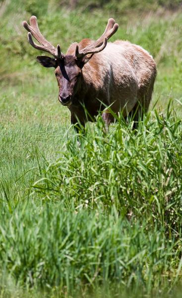 A Roosevelt Elk.<br /> <br /> Location: Redwood National Park, California<br /> <br /> Lens used: Canon 100-400mm f4.5-5.6 IS