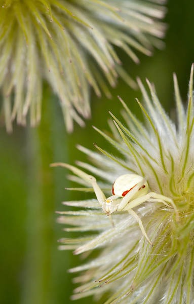 A spider on a pulsatilla seed head takes a defensive posture.