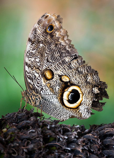 Butterfly (Caligo etreus).