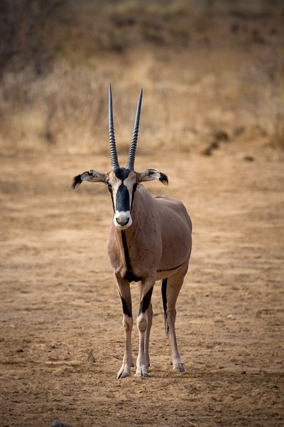 A fringe-eared Oryx.<br /> <br /> I love the patterning on these.<br /> <br /> Location: Tsavo West National Park, Kenya<br /> <br /> Lens used: Canon 100-400mm f4.5-5.6 IS