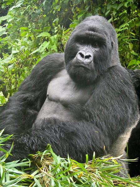 Mountain Gorilla (Gorilla beringei beringei).