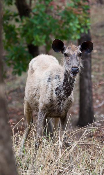 Sambar Deer  (Rusa unicolor).