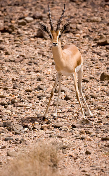What I believe is a Dorcas Gazelle, tensed to bolt as I approach on foot.<br /> <br /> Location: Djibouti countryside<br /> <br /> Lens used: Canon 100-400mm f4.5-5.6 IS