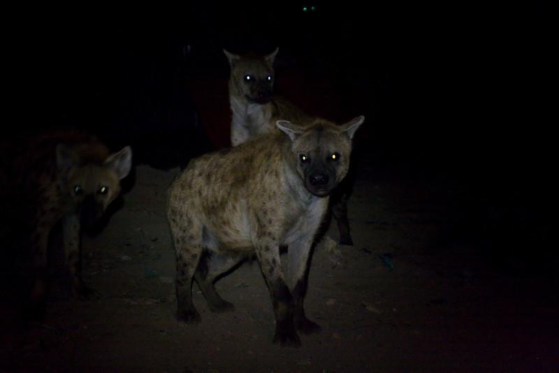 Spotted Hyena (Crocuta crocuta).