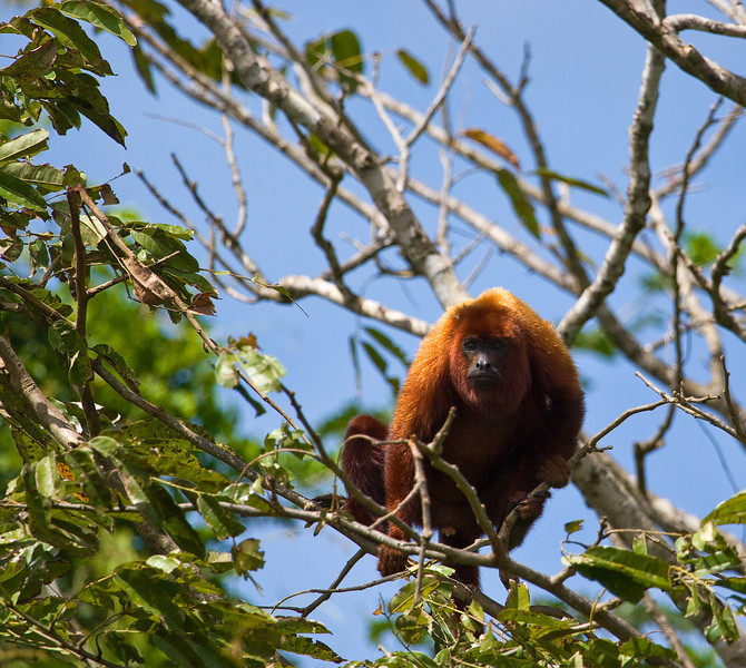 A Howler monkey lookin' at me from a tree.<br /> <br /> It's a shame pictures can't convey what these things sound like when they start howling - they sound like jet engines.  LOUD jet engines.  Quite amazing.<br /> <br /> Location: Orinoco River Delta, Venezuela<br /> <br /> Lens used: Canon 100-400mm f4.5-5.6 IS