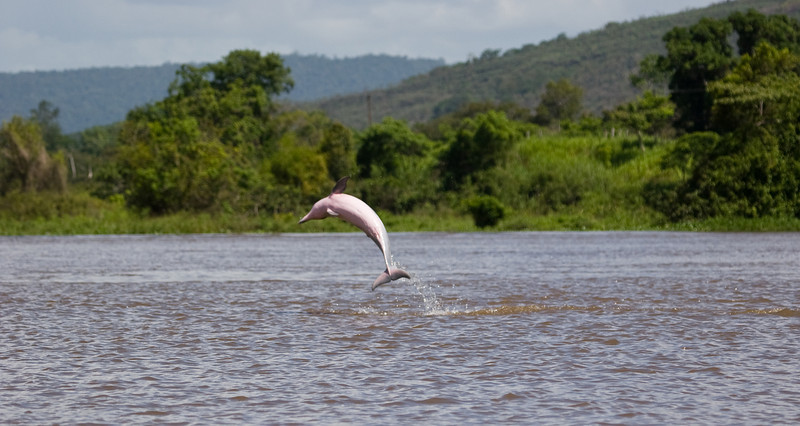 I managed to catch photos of several leaping pink Amazon River Dolphins during my trip.<br /> <br /> Location: Orinoco River Delta, Venezuela<br /> <br /> Lens used: Canon 100-400mm f4.5-5.6 IS
