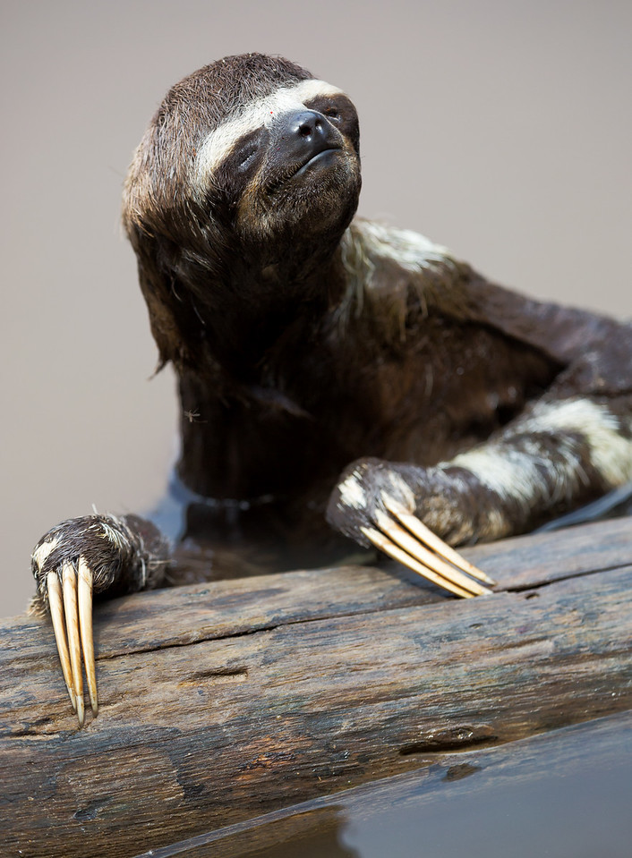 Brown-throated Sloth (Bradypus variegatus).