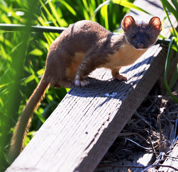 Long-tailed Weasel (Mustela frenata).