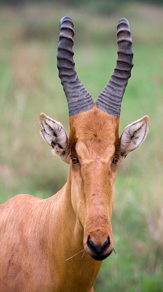 No, I didn't mess up the photo's aspect ratio - Jackson's Hartebeest really do have such elongated heads and faces.<br /> <br /> Location: Murchison Falls National Park, Uganda<br /> <br /> Lens used: Canon 100-400mm f4.5-5.6 IS