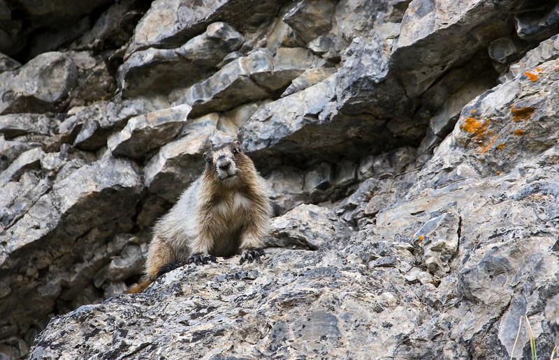 Hoary Marmot (Marmota caligata okanagana).