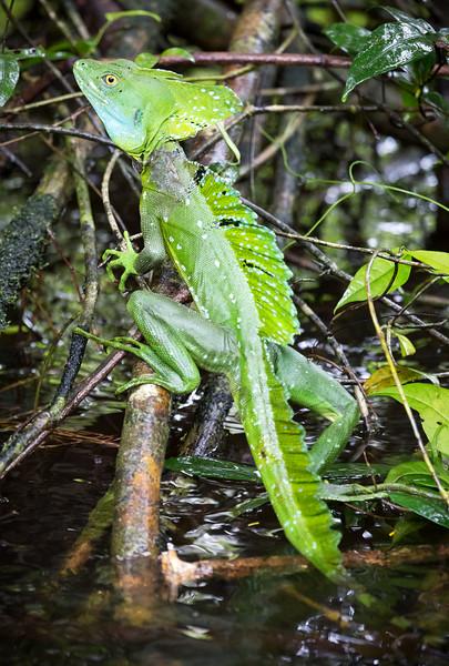 Plumed Basilisk (Basiliscus plumifrons).