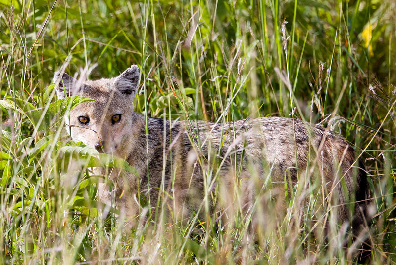 A Silver-backed Jackal caught looking at me from the tall grass.<br /> <br /> Location: Kidepo Valley National Park, Uganda<br /> <br /> Lens used: Canon 100-400mm f4.5-5.6 IS