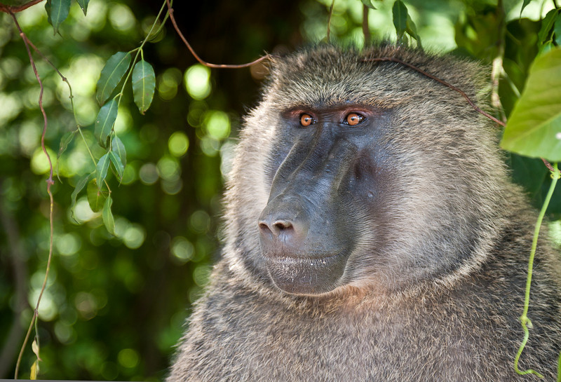 Olive Baboon.<br /> <br /> Location: Northern Ugandan countryside.<br /> <br /> Lens used: Canon 24-105mm f4.0 IS