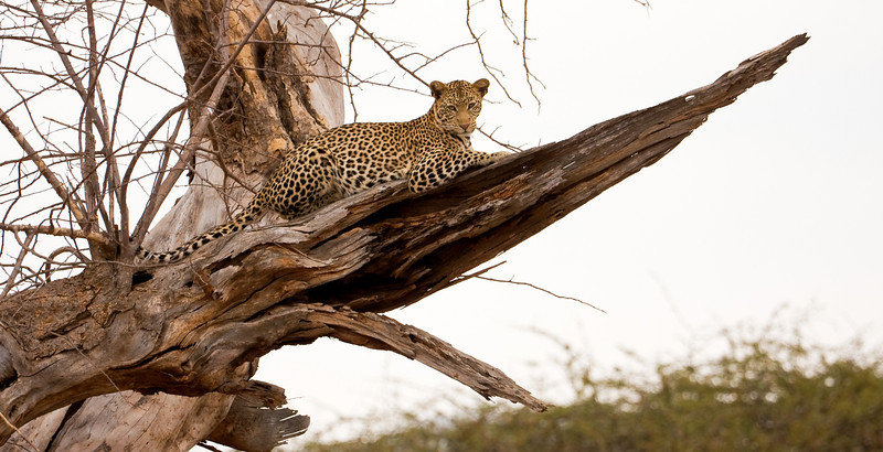 I had the privilege of observing a leopard in the wild.<br /> <br /> Location: Tsavo West National Park, Kenya<br /> <br /> Lens used: Canon 100-400mm f4.5-5.6 IS