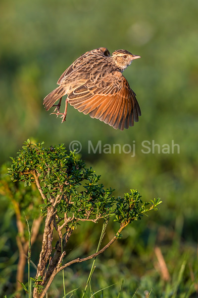 RUFOUS-NAPED LARK IN FLIGHT IN MASAI MARA.