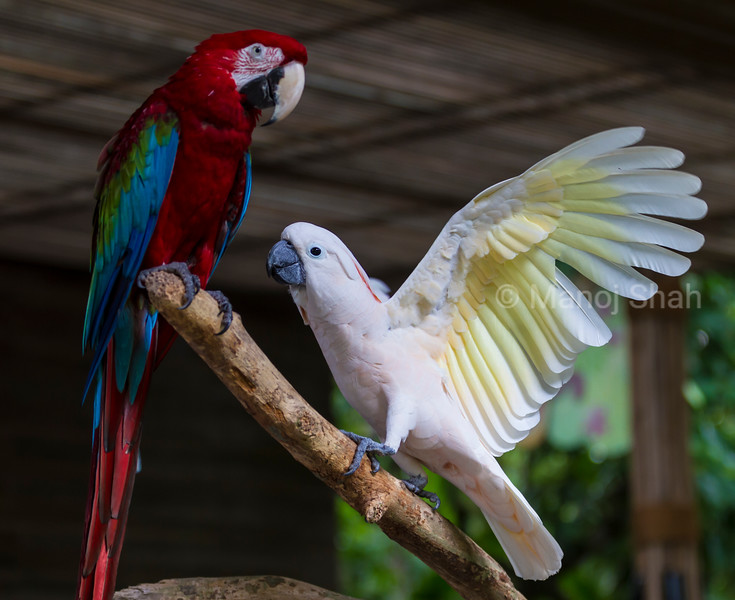 Scarlet and White Macaws