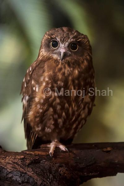 Boobok Owl