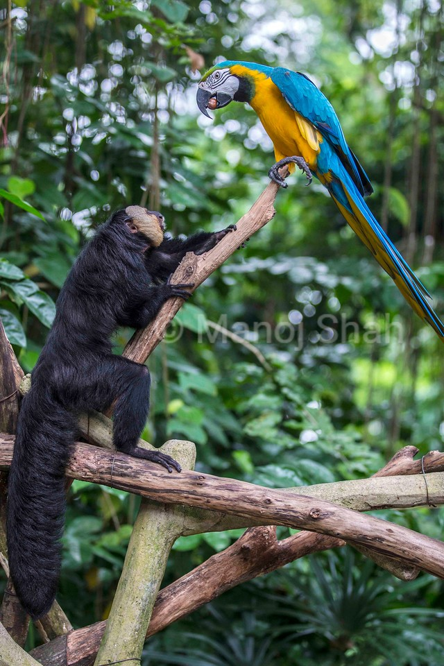 White faced Saki monkey with Blue and Yellow Macaw