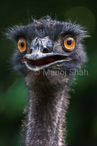 Laughing EMU