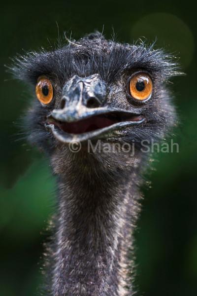Laughing EMU