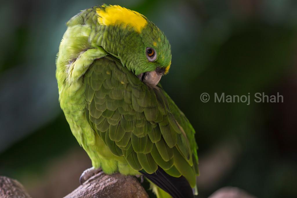 Green parrot preening