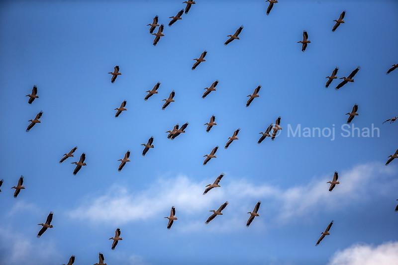 White pelicans on flight in Amboselli National Park, Kenya
