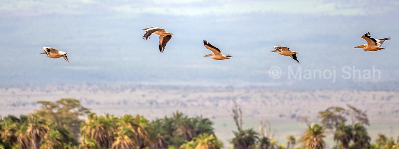 White pelicans on flight in Amboselli National Park, Kenya