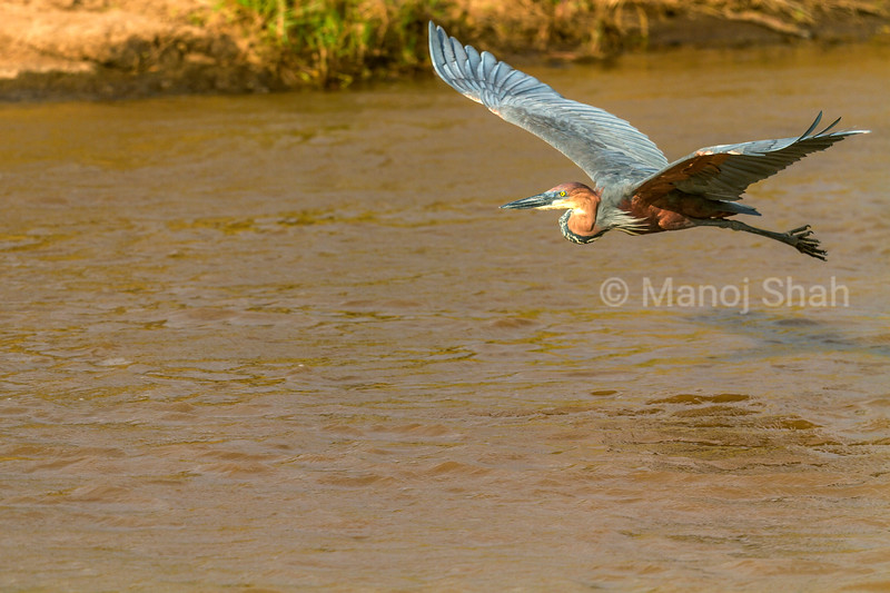 Goliath Heron in flight over Mara River in Masai Mara.