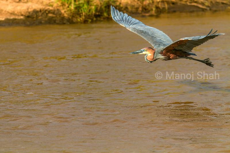 Goliath Heron in flight over Mara River in Masai Mara.