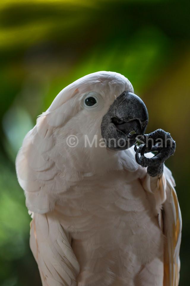 White Cockatoo (Cacatua alba)
