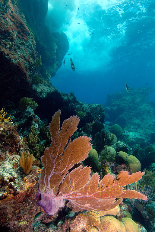 Sea Fan at Southwest Breaker, Bermuda. 2007.  16 X 26 inches.<br /> Limited to 10 prints only.   $500.00 unframed.