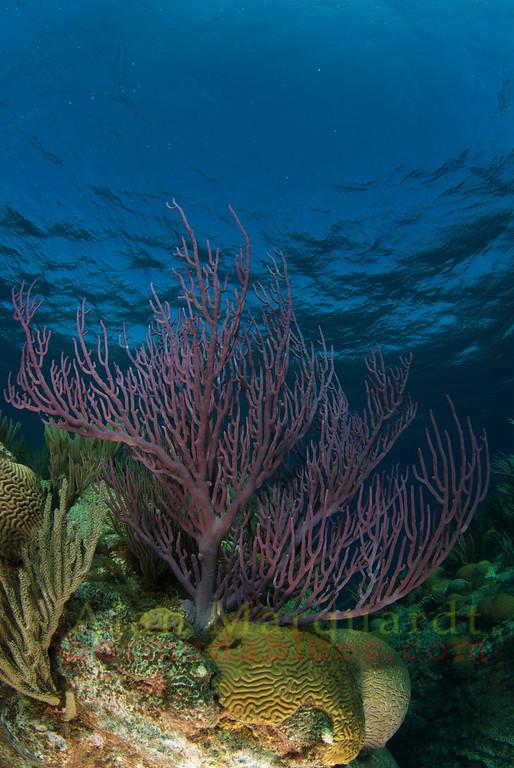 Gorgonian coral, Bermuda.